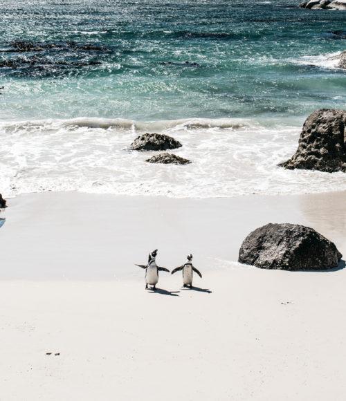 Boulders Beach bij Simons Town, Zuid-Afrika