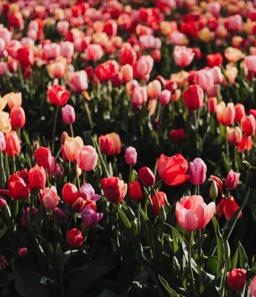 Je hebt al vanaf 50 euro per maand een arbeidsongeschiktheidsverzekering via het Tulpenfonds