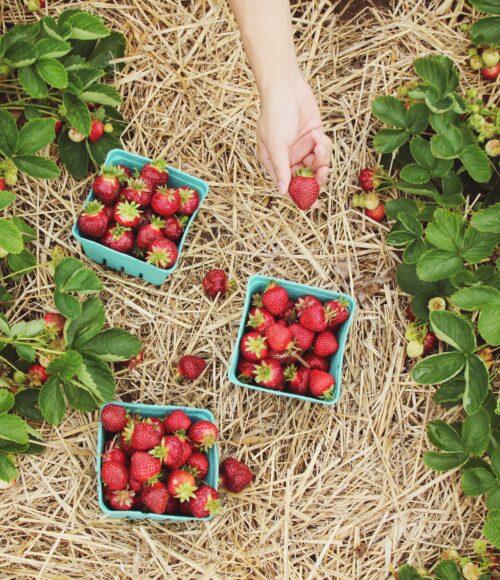Fruitplukken seizoen