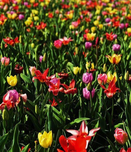 Annemieke's pluktuin in Hillegom – voor zelfgeplukte verse regenboog tulpen